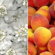 Peach & White Flowers