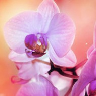 Bright Orchid