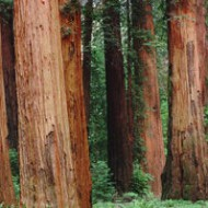 Red Sequoia